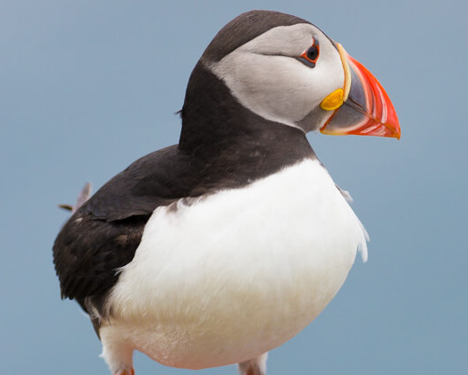 Birdlife @ Little Skellig | Skellig Walker Cruises | Wildlife on Little Skellig